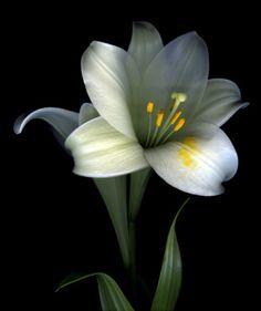 Fleur de Lys Blanche