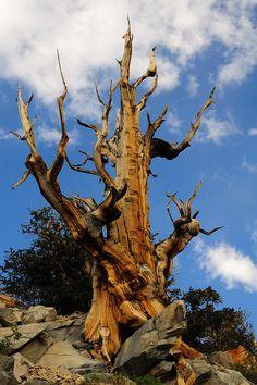 Strong Survivor, Ancient Bristlecone Pine Forest