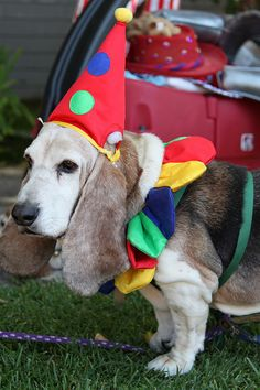 Clown | 57 Basset Hounds In Costumes