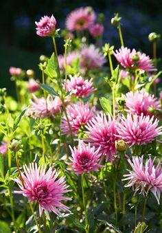 """Garden Retreat - Traditional Home®  Dahlia ' Park Princess"""""""