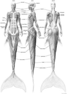 Anatomy of a Mermaid