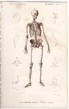 1849 human skeleton antique anatomy engraving print.