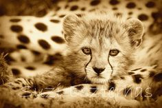 Vintage CHEETAH BABY PHOTO 8 X 10 Sepia Print  Baby by WildBabies, etsy