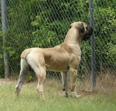 Boerboel … Huge Dogs, I Love Dogs, Mastiff Dogs, War Dogs, Large Dog Breeds, Dogs And Puppies, Doggies, Beautiful Dogs, Dog Pictures
