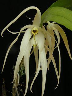 Dendrobium amboinense by begaleria, via Flickr