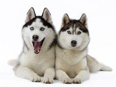 Siberian Huskies - dogs Wallpaper