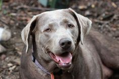 Silber Labrador Rhodesian Ridgeback, Weimaraner, Labrador Retrievers, Cane Corso, Yorkshire Terrier, Shih Tzu, Silver Lab Puppies, American Bully, Most Popular Dog Breeds