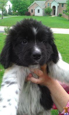 IT'S SO FLUFFYYYYY!!! Landseer Newfoundland puppy. i want one.