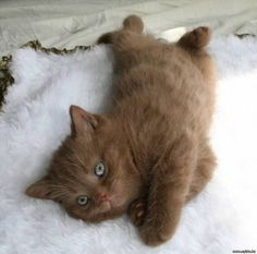 ♥ cute chocolate kitty with cool eyes