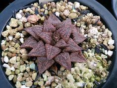 Succulent Plant Information: Haworthia picta (Japanese)