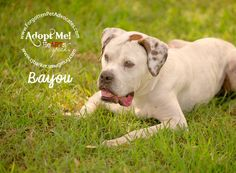 """11/02/15-HOUSTON -   The Forgotten Pet Advocates October 5 ·     Houston, TX area: SENIOR """"Bayou"""" is a gorgeous American Bulldog, which has been abandoned by his owner in a kennel along with his younger 4 - legged brother """"Prince"""", also an American Bulldog. Bayou is so well trained and laid back, he knows sit, shake, he walks on a leash perfectly and rides in the car great. If you know his breed, you know that this boy is not doing well"""