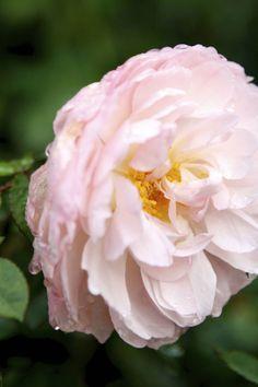 Tips for planning a rose garden