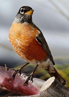 Small Birds, Little Birds, Colorful Birds, Love Birds, Beautiful Birds, Pretty Birds, Robin Tattoo, American Robin, Birds Of America