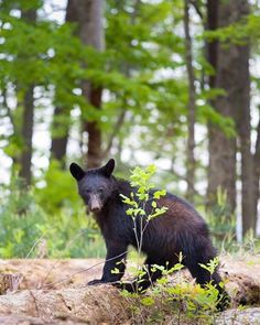 Gorgeous black bear in the Smokies