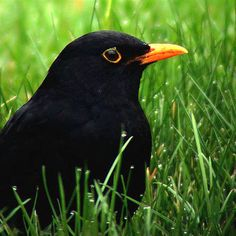 The common blackbird is a species of true thrush. It is also called Eurasian blackbird, or simply blackbird where this does not lead to confusion with a similar-looking local species
