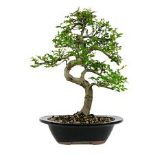 The Chinese Elm Bonsai Tree is one of our most popular bonsai trees and is always a perfect addition of style and grace to any coffee table. Distinguished for its unique leaf shape and gracefully curvy trunk, these bonsai trees have been painstakingly trained and styled for nearly a decade by Chinese professionals. Rest assured, this bonsai will be sure to turn heads. The Chinese Elms is a great addition to any home decor or patio decoration.