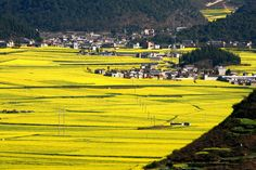 Canola Flower Fields – Qujing, China - Atlas Obscura