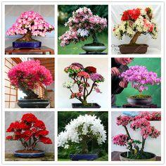 10 Pz/borsa Rare 18 Varietà semi Sakura Ciliegio Giapponese bonsai Semi di Fiori di sakura albero Blooms BRICOLAGE Casa e Giardino Pianta