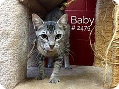 Baby - URGENT - Alvin Animal Adoption Center in Alvin, Texas - Adult Spayed Female Domestic SH