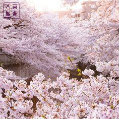 Programe a sua viagem para aproveitar os encantos da primavera japonesa na Clube Turismo mais perto de você! http://www.clubeturismo.com.br/site/index.php