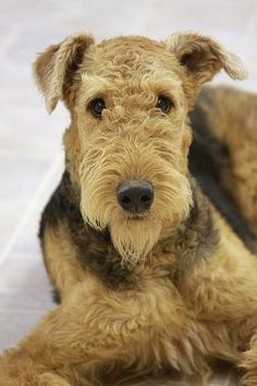 The Airedale Terrier.  Those eyes miss nothing.   ...........click here to find out more     http://googydog.com