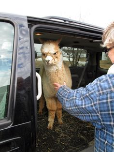 Have you ever seen an alpaca in a minivan while driving?!?!