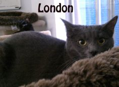 Hi! My name is London. I am a very sweet, but a bit shy Russian Blue mix kitty. My sister, Butters wants so bad to be friends with people but still is wanting to just play with me & the others. She will also play with people who have feather stick toys. We need a home where we can continue to grow and trust. Come see us soon!  If you are interested in adopting these cats or any other one listed here please call 877-307-2747 or email adopt@whis-purr.org