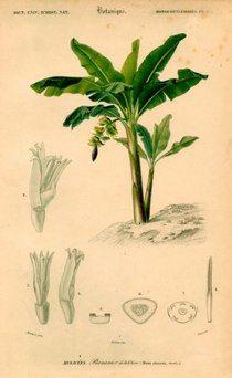 "do banana french 1861 hand coloured engraving 6 x 9"" $60 - #1 banana"