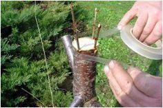 ako štiepiť stromy