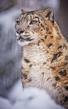 Clouded Snow.Leopard.; Beyond Beautiful.
