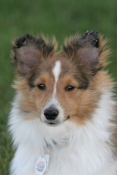 Sweet Sheltie puppy