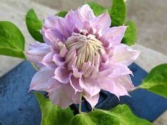 Credit: Alice Joyce. Full botanical name is Clematis 'Belle of Woking.' Photo: Alice Joyce