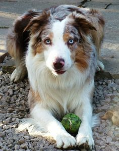 Mac, a Chocolate Tricolor Merle Border Collie Border Collie Blue Eyes, Border Collie Bleu Merle, Border Collie Colors, American Shepherd, Australian Shepherd Dogs, Pet Dogs, Dogs And Puppies, Dog Cat, Doggies