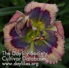 Daylily Blue Beetle