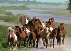 The national seashore of Assateague, md/va. is home to a herd of wild horses. Around 150 of them cross the channel to chincoteague during the annual pony swim on july 25th.