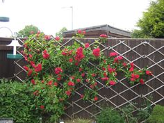 Trellis for climbing rose: Expanding fence stapled on Fence