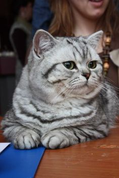 British shorthair - interesting... beautiful silver Tabby markings... but the eyes I have never seen a BSH without copper eyes... I thought that was breed standard, as well as a genetic dominant...definitely proud of himself, almost haughty
