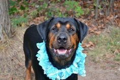 TO BE DESTROYED - 10/9/14 Staten Island Center -P  My name is ZOE. My Animal ID # is A1015716. I am a female black and brown rottweiler mix. The shelter thinks I am about 1 YEAR 1 MONTH old.  I came in the shelter as a STRAY on 09/28/2014 from NY 10314, owner surrender reason stated was ABANDON.