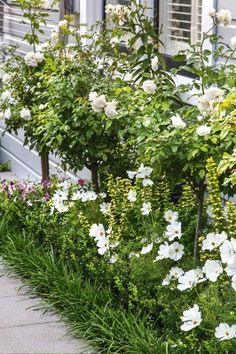 'Iceberg' roses are Georgina's favourites and share the garden with cosmos and Buxus 'Green Gem' hedging; a row of mondo ...