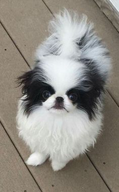 Cute Puppies, Cute Dogs, Japanese Chin, Pekingese, Puppy Love, Pugs, Cute Pictures, Super Cute, Fairy