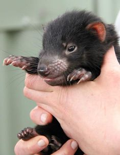 """""""With Tasmanian Devils under threat from extinction due to a contagious cancer that causes fatal facial tumours, the birth of these three joeys is encouraging for the species and for the network of mainland zoos managing insurance populations. Baby Animals Pictures, Cute Baby Animals, Animals And Pets, Tasmanian Devil, Interesting Animals, Australian Animals, Cute Creatures, Animal Photography, Pet Birds"""