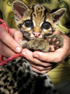 A clouded leopard cub being held in human hands.