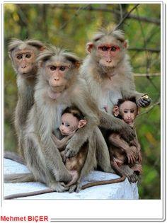 Maymun ailesi