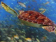 Sea turtle Olive Ridley, Turtle Love, Wild Creatures, Sea Turtles, Gourd Crafts, Animals, Bodies, Water, Life