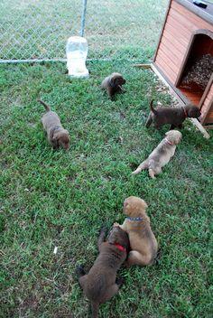 Ellis Farms Chesapeake Bay Retriever - August 2013 Litter at 4 weeks old Labrador Mix, Chesapeake Bay, August 2013, Farms, Dogs, Cute, Homesteads, Pet Dogs, Kawaii