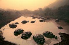 Tortoises at Dawn