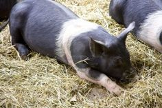 That looks like our old pig!  We are getting two guinea hogs today! Young Hampshire pigs<3
