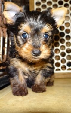 Little boy yorkie baby.  Two months old.  offered with no papers, but can be registered AKC with extra cost. gonna be really small and raised with other animals and children. Located in Tennessee  941-730-6318 text or call for more information