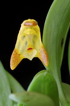 Porroglossum tripollex orchid