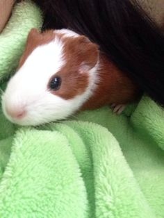Guinea pigs love a shoulder and warm blanket to sit on.